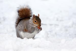 Veverica je ena Tellegenovih stalnic