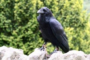 Vrane so znane po svoji domiselnosti