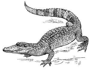 Krokodili vse pogosteje nastopajo v slikanicah za otroke