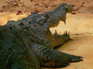Ste vedeli, da v stari grščini κροκόδιλος (crocodilos) pomeni kuščar?