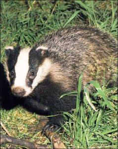 Jazbec je skoraj vedno videti slabe volje