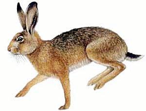Zajec - slika