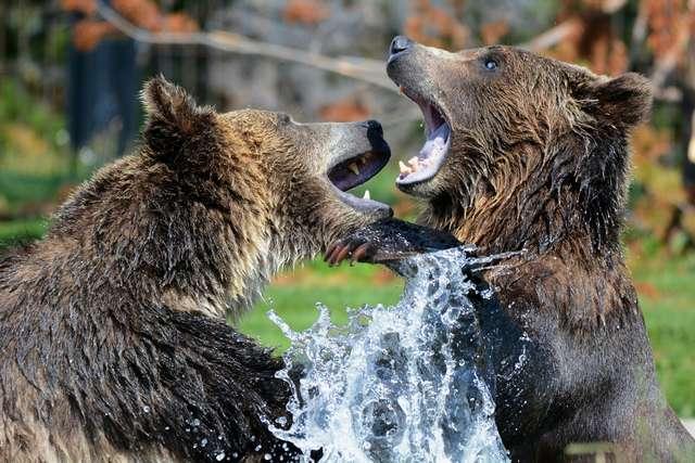 medved grizli se igra